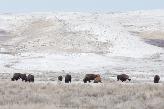 Herd of plains bison in Grasslands National Park - West Block, Saskatchewan