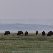 Bison viewing in Grasslands National Park