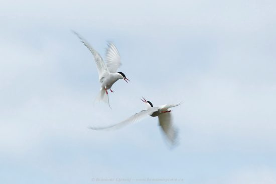 Arctic terns (Sterna paradisea) interacting in mid air. Iceland