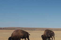 Photographing blue moon and bison in Grasslands National Park