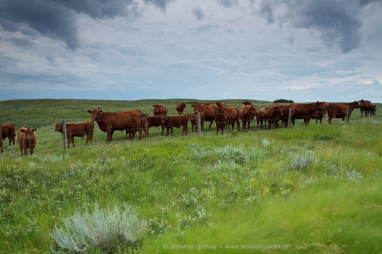 Cattle in native prairie near Elbow PFRA community pasture. Central Butte