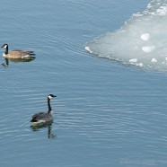Nature in the City – birds along the edge of ice
