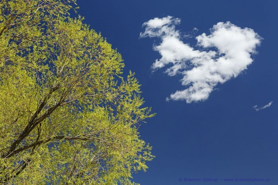 Willow tree and a cloud against clear blue sky