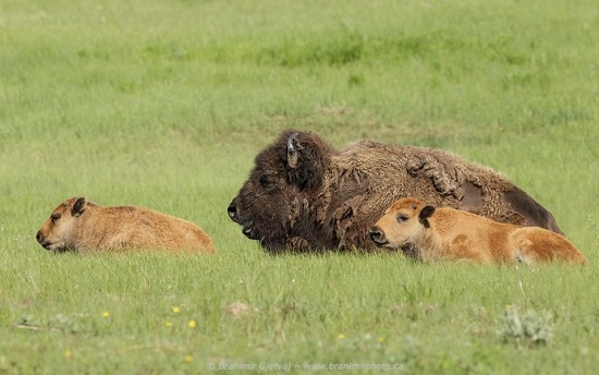 Cow bison and two calves in Grasslands National Park