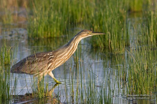 Least Bittern in marsh at the edge of Saskatoon