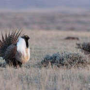 A step in the right direction: endangered Greater Sage Grouse to be protected by an emergency order