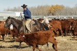 Eric Weisbeck, Wolverine PFRA pasture manager sorts cattle