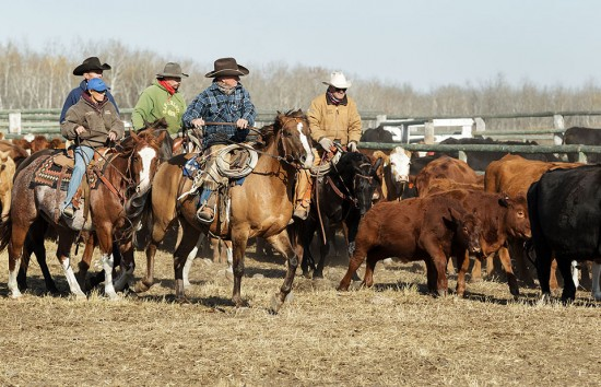 Cowboys sort cattle at Wolverine PFRA community pasture near Lanigan