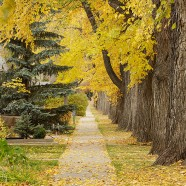 Avenue with elm trees in downtown Saskatoon, autumn colours