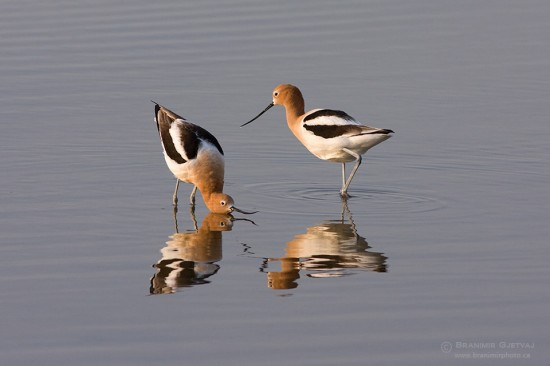 American Avocets displaying