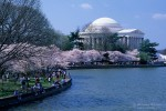 Cherry trees in bloom near Thomas Jefferson Memorial in Washington DC, USA