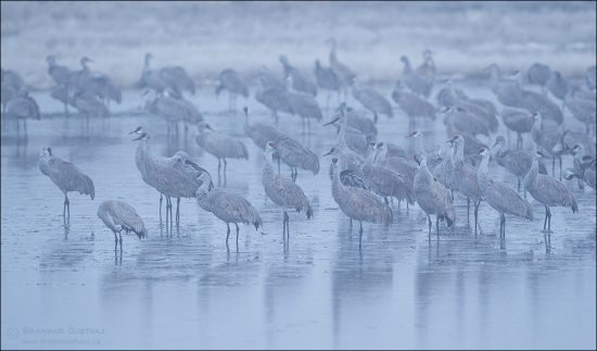 Sandhill cranes in morning fog. Bradwell, Saskatchewan