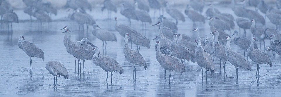 Sandhill Cranes in morning fog