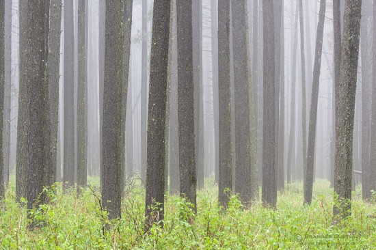 Lodgepole pines in fog, Cypress Hills