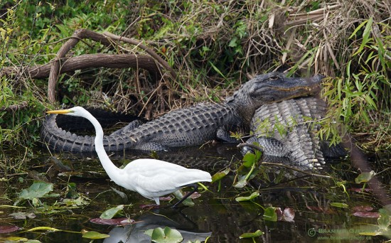 Egret and alligators, Everglades National Park, Florida