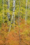 Aspen forest in autumn. Prince Albert National Park, Saskatchewan