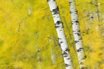 Aspen trees in autumn. Prince Albert National Park, Saskatchewan