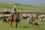 Herding sheep. Waldron Ranch
