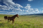 Horses in pasture, Waldron Ranch
