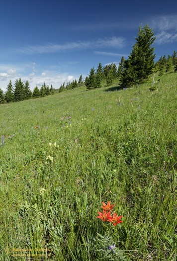 Pasture with prairie lilies, Waldron Ranch