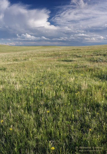 Native prairie on a private ranch near Robsart