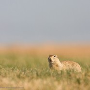 Richardson's ground squirrel at Wanuskewin