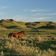 Horse in pasture with sagebrush, Val Marie PFRA Community Pasture