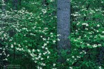 Dogwood trees in bloom. George Washington Forest, Virginia, USA